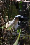 woodstork. feeding in pond