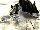 willet. looks into the camera