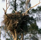 two eagles. on the nest