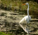 great egret. with bridal veil