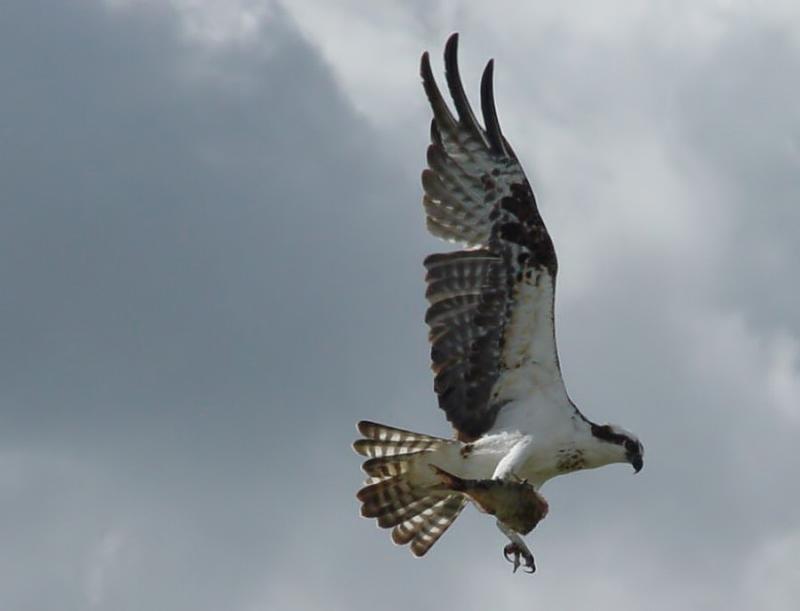 osprey. with fish