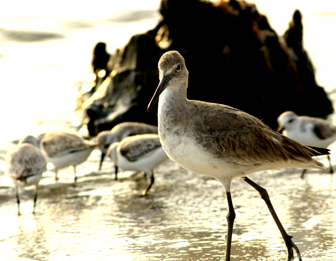 willet. looking at you