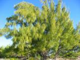 A weird tree