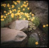 4.8 daffs with rocks