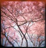 4.14 pink cherry