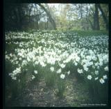 4.24 d white daffs front