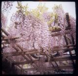 5.5 wisteria