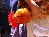 chicken,antigua, guatemala