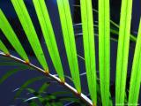 leaf, guatemala