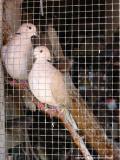 lovebirds, guatemala