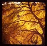 yellow tree/diana