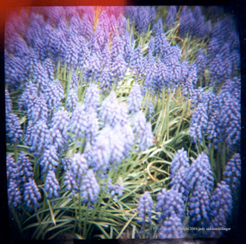 4.24 purple hyacinth also