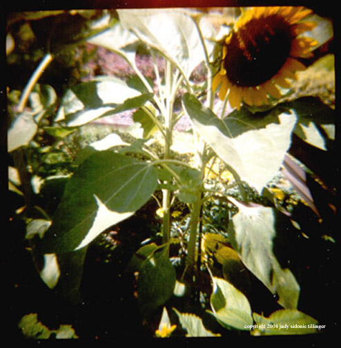 7.15 sunflower