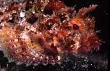 Peixe Escorpião  - Buzios
