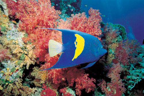 Peixe Anjo - Angel Fish