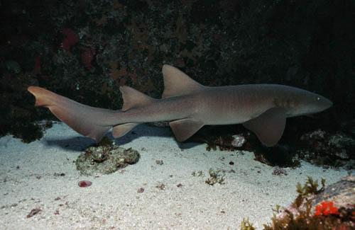 Lambaru - Nurse Shark
