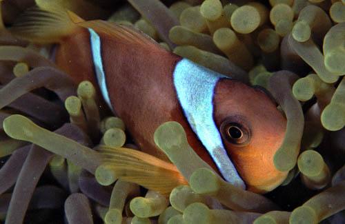 Peixe Palhaço - Clown Fish