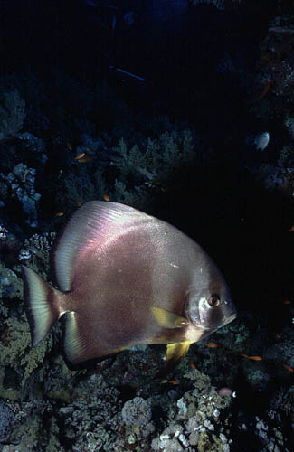 Platax - Bat Fish