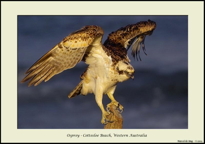 osprey10_s.jpg