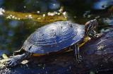 Turtle on a Log 5059
