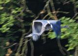 Juvenile Blue Heron in Flight