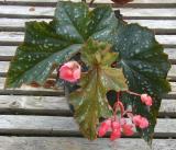 Begonia Joyce