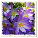 Purple croci (2443)
