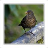 Female blackbird ~ Stourhead