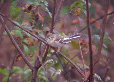 Field Sparrow - partially Albinistic