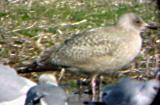 Thayer's Gull  - Savannah Bottoms