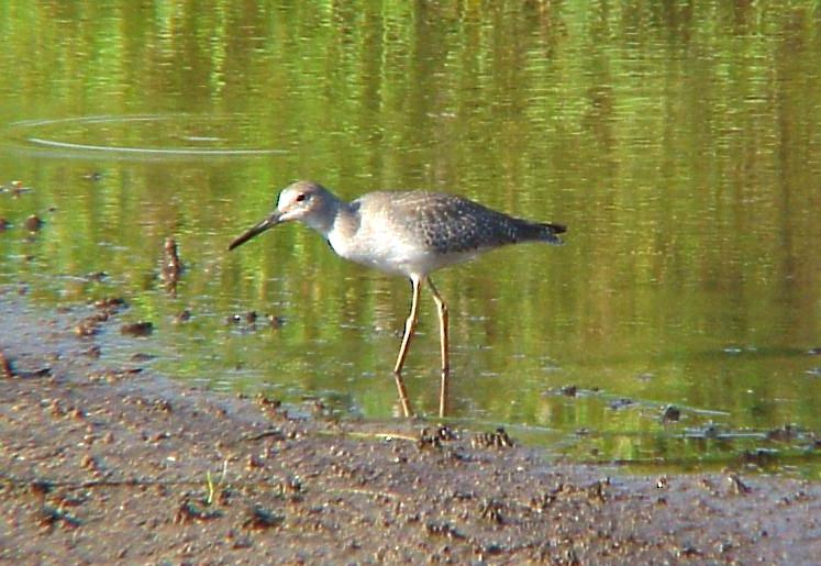 Willet - with yellow legs