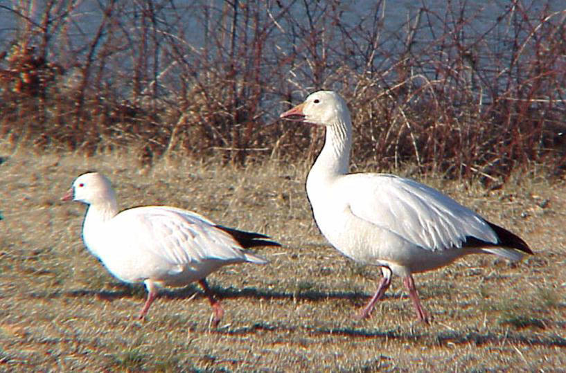 Rosss and  Snow Goose