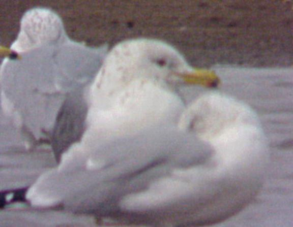 California Gull - 2-25-04 - Pace Point