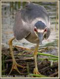 Bihoreau gris (Black-crowned Night-Heron)