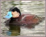 Érismature rousse (Ruddy Duck) mâle