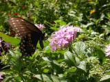 Black Swallowtail on Penta