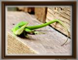 One of our Lizard visitors.