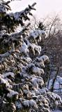 2005-02-25: Sun on Snow on Spruce