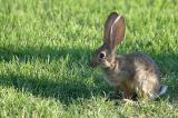 Young Desert Cottontail