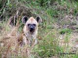 bebe hyène