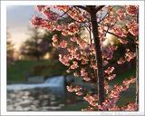 Cherry Blossom Sunset 1.jpg