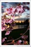 Cherry Blossom Sunset 2.jpg