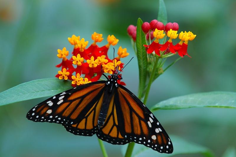 Monarch Feeding.jpg