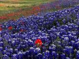 Texas Wildflower Report 2003