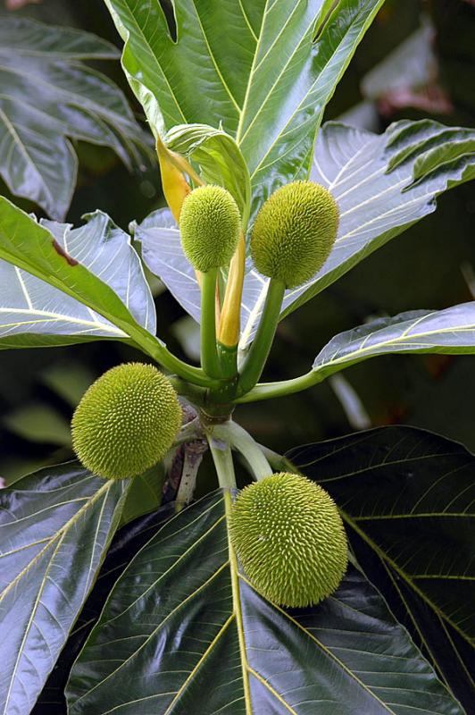 Sukun - Bread Fruit
