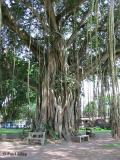 Tree at Mendut temple in central Java