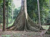 Trees of Indonesia