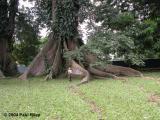 Tree - Jaya in foreground
