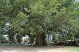 Tree in central Java