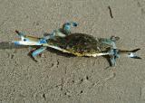 A crab named siri !